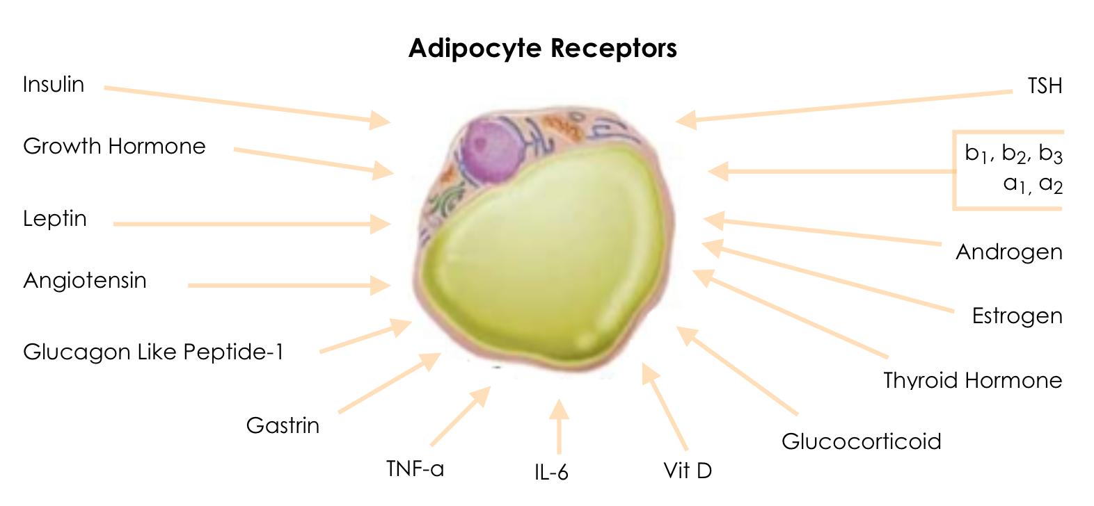 """adipose-receptors """"width ="""" 451 """"height ="""" 209 """"srcset ="""" https://www.zenergies-nature-sante.fr/wp-content/uploads/2019/12/adipose-receptors.png 1572w, https: // www. kinesiologyconcepts.com/wp-content/uploads/2016/01/adipose-receptors-416x193.png 416w """"values ="""" (max-width: 451px) 100vw, 451px """"/></p></noscript> <p>Le cours Metabolic BioMarkers examine 12 sites spécifiques en corrélation avec le tissu adipeux (cellules adipeuses) en tant qu'organe métabolique et endocrinien complexe, essentiel et hautement actif. Cela comprend une compréhension des schémas individuels de répartition des graisses et de leurs associations liées à la santé.</p> <p><img class="""