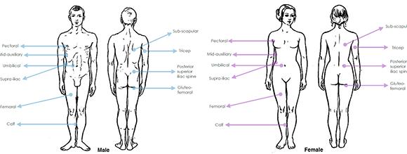 La graisse interne comme une usine hormonale