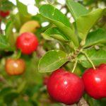 Les meilleures sources naturelles de nourriture et de plantes de vitamine C
