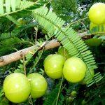 Amla Berry Vitamin C
