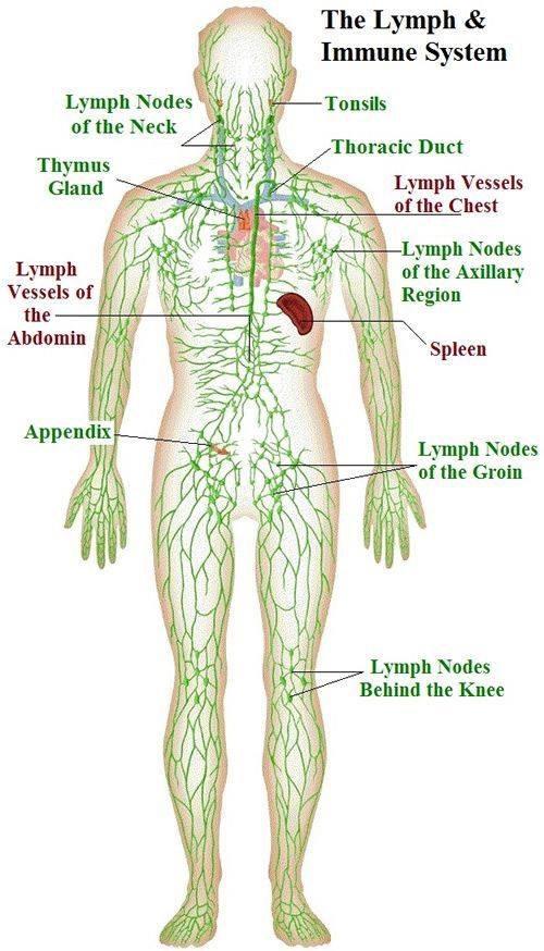 le système lymphatique et le système immunitaire