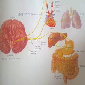 Le nerf vague – qu'est-ce que c'est et pourquoi est-ce important?  – L'Académie de kinésiologie systématique